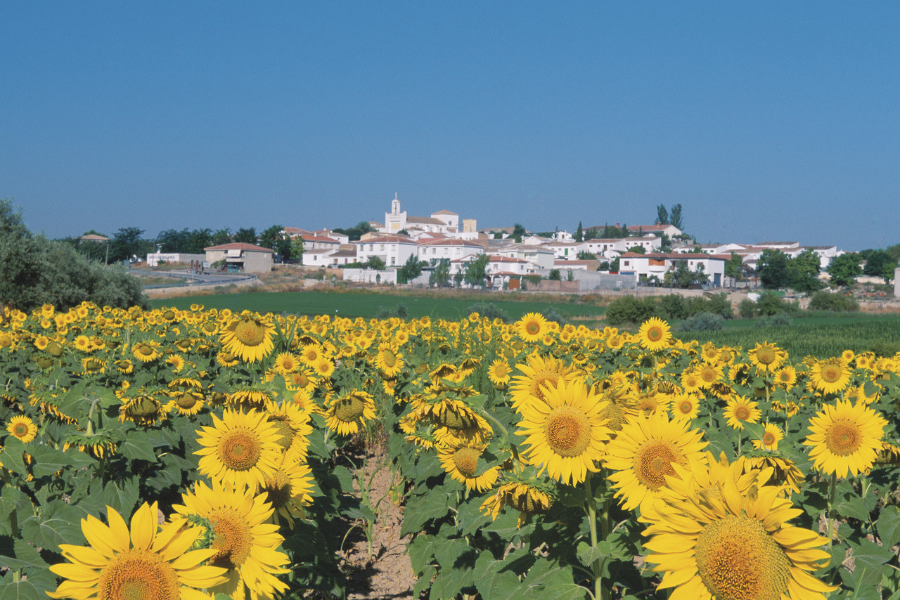 Field of sunflowers in Fuensanta, Spain